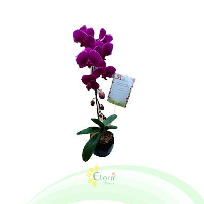 Bunga Anggrek EHRI-001