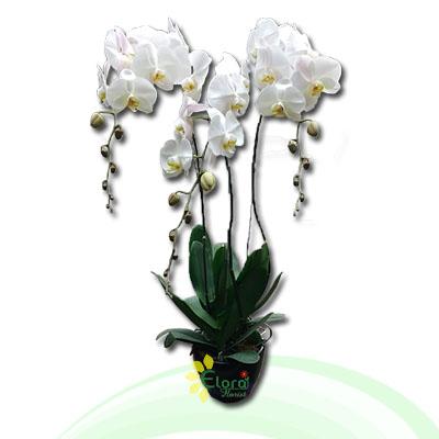 Bunga Anggrek EHRI-002