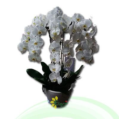 Bunga Anggrek EHRI-003