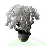Bunga Anggrek EHRI-004